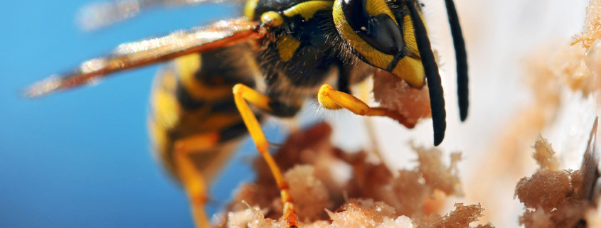 honey bee eating sugar